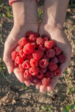 Close up of the ripe raspberry in hands. Royalty Free Stock Image