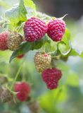 Ripe raspberry. Close up of the ripe raspberry Royalty Free Stock Images