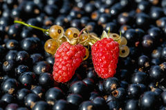 Close up ripe raspberry and yellow or white  currant on the raw black currant. Background Stock Images