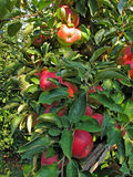 Close-up of ripe red apples on branches of apple tree Royalty Free Stock Photo