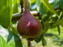 Close up of Ripe Red Bartlett Pears on the tree. In a grove in Hood River, Oregon, United States, with many pears in the background, all ready to be picked in royalty free stock photo