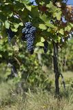 Close up of ripe red grapes ready for autumn harvest royalty free stock photo