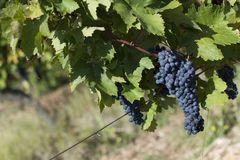Close up of ripe red grapes ready for autumn harvest royalty free stock images