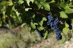 Close up of ripe red grapes ready for autumn harvest stock images