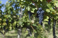 Close up of ripe red grapes ready for autumn harvest royalty free stock image