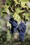 Close up of ripe red grapes ready for autumn harvest royalty free stock photos