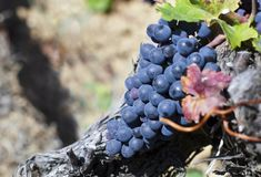 Close up of ripe red grapes ready for autumn harvest stock photography