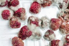 Close-up ripe red rotten raspberry with white grey mold on it. Spoiled berry in plastic box royalty free stock image