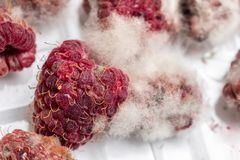Close-up ripe red rotten raspberry with white grey mold on it. Spoiled berry in plastic box. Macro Royalty Free Stock Images