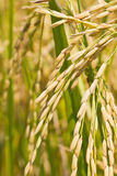 Close up of ripe rice Stock Images