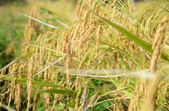 Close up ripe rice shallow depth of field selective focus on rice. Close up ripe rice shallow depth of field select focus on rice with the morning light stock photo
