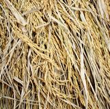 Close up of ripe rice , Thailand Stock Photo