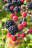 Close up of ripe and ripening wild blackberries Royalty Free Stock Images