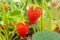 Close up on ripe strawberries growing Stock Image