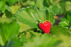 Close up ripe strawberry in the field Royalty Free Stock Photos