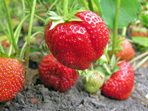 Close-up of the ripe strawberry Royalty Free Stock Photos