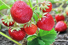 Close-up of the ripe strawberry Royalty Free Stock Images