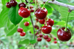 Close-up of ripe sweet cherries on a tree Stock Photo