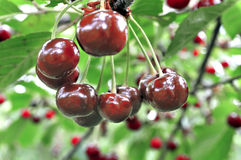 Close-up of ripe sweet cherries on a tree Stock Photography
