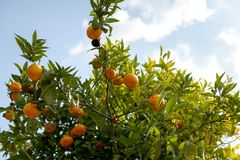 Close up of ripe tangerines hanging from tree branches, Valencia, Spain. Summer background. Copy space Stock Photos