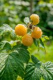 Close up of the ripe and unripe yellow raspberry in the fruit ga. Lots of red ripe yellow raspberries on a bush. Close up of fresh organic berries with green Royalty Free Stock Photography