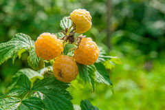 Close up of the ripe and unripe yellow raspberry in the fruit ga. Lots of red ripe yellow raspberries on a bush. Close up of fresh organic berries with green Stock Photography