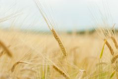Close up of ripe wheat ears. Against  sky with clouds. Selective focus Royalty Free Stock Images