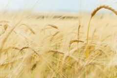 Close up of ripe wheat ears Royalty Free Stock Images