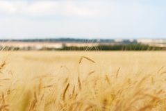 Close up of ripe wheat ears. Against  sky with clouds. Selective focus Royalty Free Stock Photography