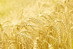 Close up of ripe wheat ears Stock Image