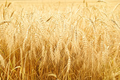 Close up of ripe wheat ears Stock Images