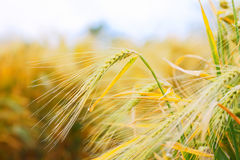Close up of ripe wheat ears Stock Photos