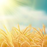 Close up of ripe wheat ears against sky. EPS 10. Vector file included Stock Images