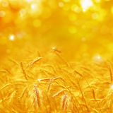 Close up of ripe wheat ears. Beautiful backdrop of ripening ears. Of golden field. Nature background and  blurred bokeh. Agriculture scene of sun setting over Royalty Free Stock Image