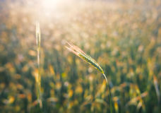 Close up of ripe wheat ears. Beautiful backdrop of ripening ears of golden field. Nature background and blurred booked Agriculture Royalty Free Stock Photo