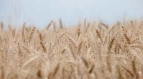 Close up on ripe wheat ears on reaping time Royalty Free Stock Photography