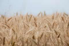 Close up on ripe wheat ears on reaping time. Close  up on ripe wheat ears on reaping time Stock Photo