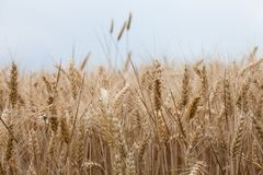 Close up on ripe wheat ears on reaping time. Close  up on ripe wheat ears on reaping time Royalty Free Stock Images