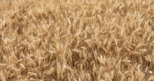 Close up on ripe wheat ears on reaping time Stock Photos