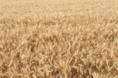 Close up on ripe wheat ears on reaping time Stock Photography