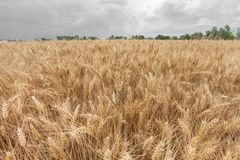 Close up on ripe wheat ears on reaping time Royalty Free Stock Photos