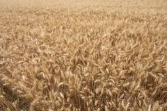 Close up on ripe wheat ears on reaping time. Close  up on ripe wheat ears on reaping time Royalty Free Stock Photography
