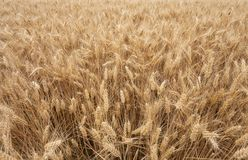 Close up on ripe wheat ears on reaping time Stock Images