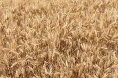 Close up on ripe wheat ears on reaping time Royalty Free Stock Photo