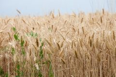 Close up on ripe wheat ears on reaping time Stock Photo