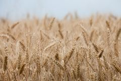 Close up on ripe wheat ears on reaping time Royalty Free Stock Images