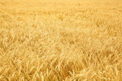 Close up of ripe wheat ears Stock Photography