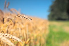 Close up of ripe wheat ears. Selective focus. Royalty Free Stock Photography