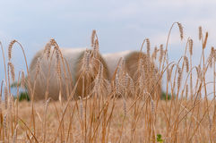 Close up of ripe wheat ears - Stock Image Royalty Free Stock Image