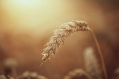 Close up of ripe wheat ears Royalty Free Stock Image